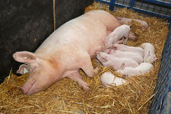 Sow with piglets Royalty Free Stock Photos