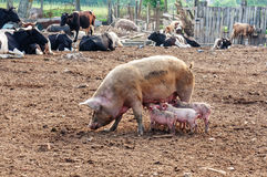 Sow with piglets Royalty Free Stock Image