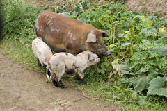 Sow with piglets. Sow with 2 piglets looking for food among weeds stock photo