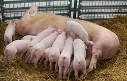 Sow with piglets nursing Stock Image