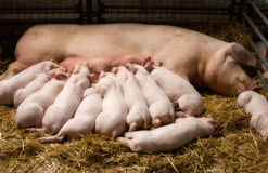Sow with piglets nursing Royalty Free Stock Image