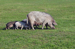 A sow with piglings grazes Royalty Free Stock Photo