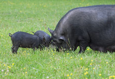 Sow with pigs on a green pasture Stock Photo