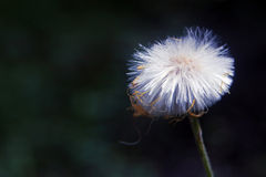 Sow-thistle Stock Photo