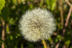 Sow-thistle Royalty Free Stock Photography