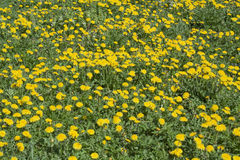 Sow-thistle. Beautiful springtime field full of flowers Royalty Free Stock Images