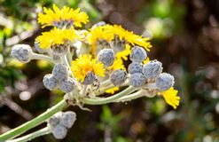 Sow thistle close up picture royalty free stock images
