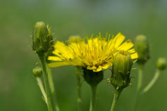 Sow-thistle flower Royalty Free Stock Images