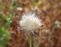 Sow Thistle. Single mature sow thistle closeup Stock Images
