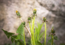 Sow thistle (Sonchus). Preparing to bloom Royalty Free Stock Images