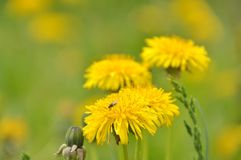 Sow-thistle Royalty Free Stock Photo