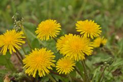 Sow-thistle Stock Photography
