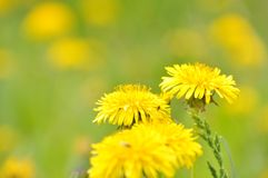 Sow-thistle Royalty Free Stock Image