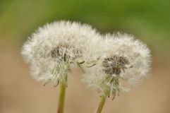 Sow-thistle Stock Image