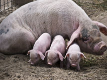 Sow-and-three piglets Royalty Free Stock Image