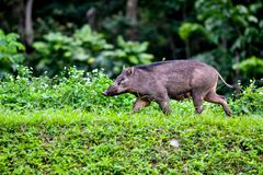 The wild boar Sus scrofa, also known as the wild swine, Eurasian wild pig or simply wild pig stock image