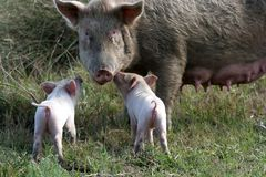 Sow and Two Piglets. Big sow pig and two of her cute tiny pink piglets Stock Photo