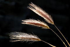 Sow Wild Oats Stock Photo