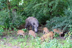 Sow with young willd pigs. Sow with young wild boar feeds on the edge of the forest Royalty Free Stock Photos
