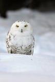 sowa śnieżna Obrazy Royalty Free