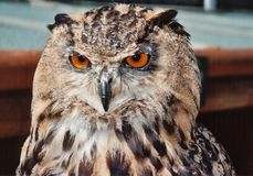 sowa europejskim orła Fotografia Stock