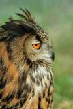 sowa europejskim orła Zdjęcie Royalty Free