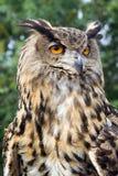 sowa europejskim orła zdjęcia royalty free