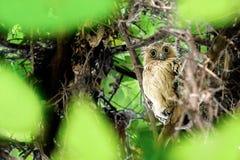 Sowa gapi się wśród drzew zdjęcia stock