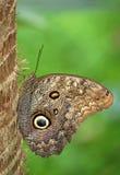 Sowa motyl Obrazy Royalty Free