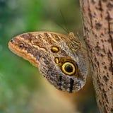 Sowa motyl z skrzydłami dekorującymi z wielkimi oczami Caligo memnon gigantyczna sowa lub pal sowa, jest motylem Nymphalidae fa Obrazy Royalty Free