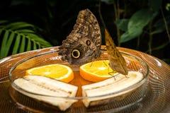 Sowa Motyli Caligo Memnon Obrazy Stock