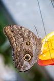 Sowa motyli szczegół Zdjęcia Royalty Free