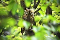 Sowa na drzewie Zdjęcie Royalty Free
