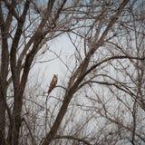 Sowa na drzewie, Asio otus Zdjęcia Royalty Free