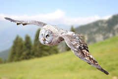 Sowa ptak drapieżny Obraz Royalty Free