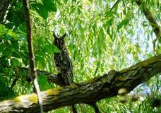 Sowa w drzewie fotografia royalty free