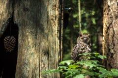 Sowa w Kanadyjskim tropikalnym lesie deszczowym Fotografia Stock