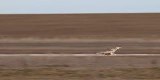 Sowa w locie, nad pustynią Zdjęcia Royalty Free