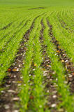 Sowed field Royalty Free Stock Photo