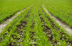 Sowed field Royalty Free Stock Images