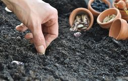 Sowing beans Royalty Free Stock Photography
