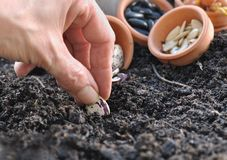 Sowing beans Stock Photos