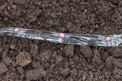 Sowing carrot seed on the tape. Pelleting seeds of carrots with water-soluble tape is laid on a bed closeup Royalty Free Stock Photo