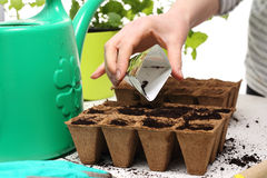 Sowing of crops in the home, peat pot. Gardener sows seeds are watered and cares sown into pots of peat Royalty Free Stock Photography
