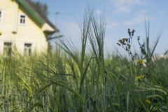 Young rye in a field near the house. Sowing culture. rye. young shoots of rye stock image
