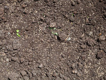 Sowing grass seeds in loosened soil of lawn. In spring Royalty Free Stock Photos