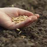 Sowing oats royalty free stock images
