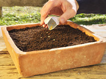 Sowing in a old seed pan made of brick. Photo shows a closeup of sowing in a old seed pan made of brick Royalty Free Stock Photo
