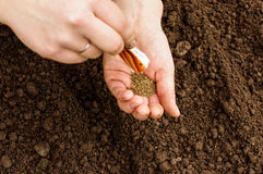 Sowing organic carrots Royalty Free Stock Photo