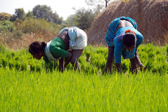 Sowing paddy. Sowing rice saplings in rural India Stock Photo